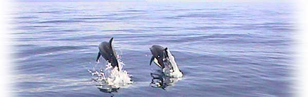 Jumping Spinner Dolphins